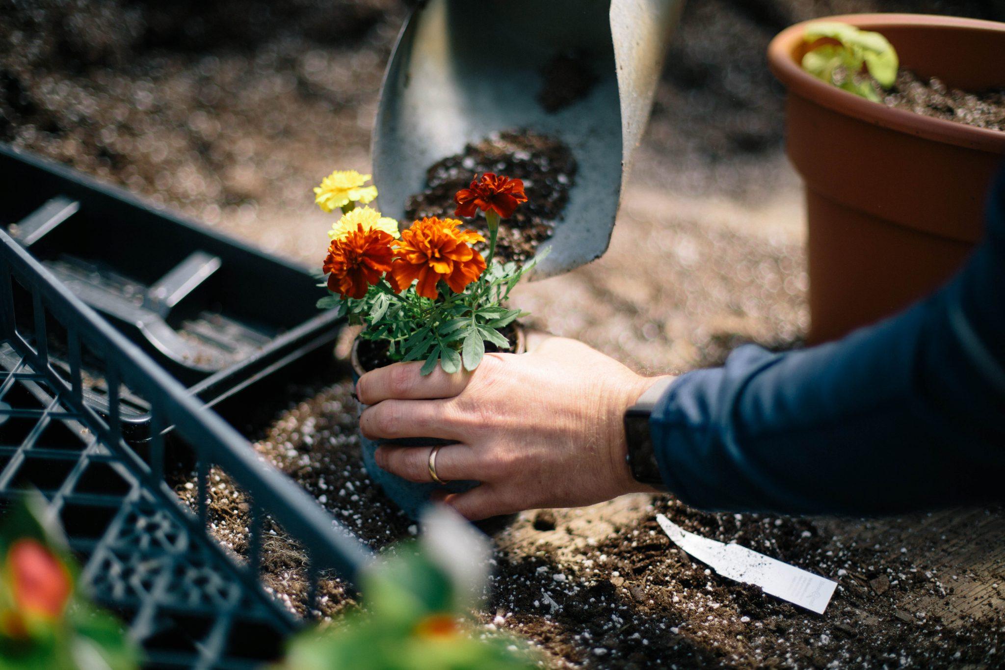 Cleveland-nursery-marigold-flowers
